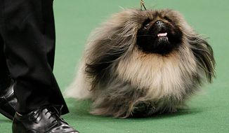 Malachy, a Pekingese, competes in the ring for best in show in the 135th Westminster Kennel Club Dog Show on Tuesday, Feb. 15, 2011, at Madison Square Garden in New York. Hickory, a Scottish deerhound, won best in show. (AP Photo/Frank Franklin II)
