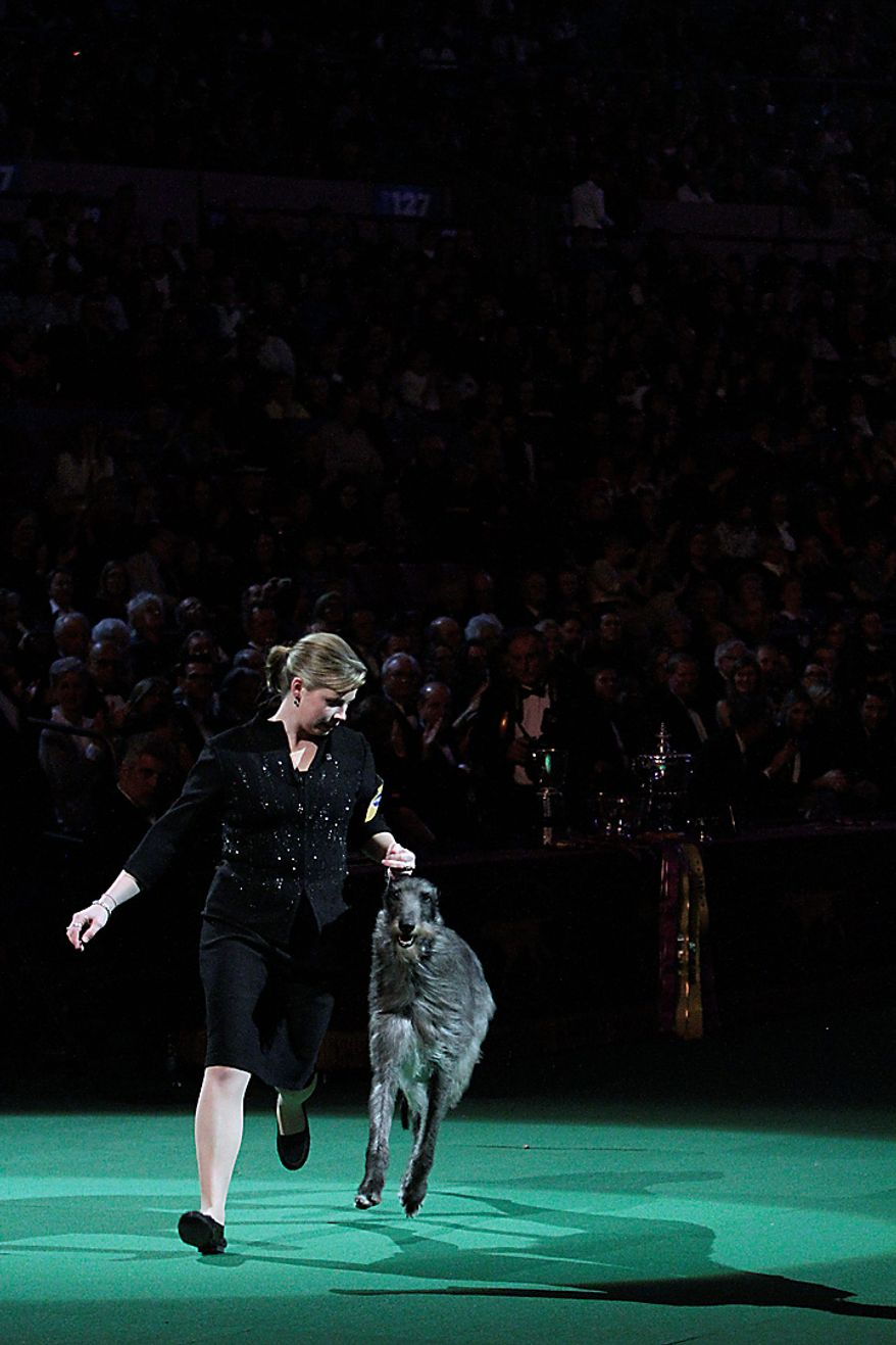 Scottish deerhound Hickory competes in the ring with his handler, Angela Lloyd, during the 135th Westminster Kennel Club Dog Show on Tuesday, Feb. 15, 2011, at Madison Square Garden in New York. Hickory won best best in show. (AP Photo/Mary Altaffer)
