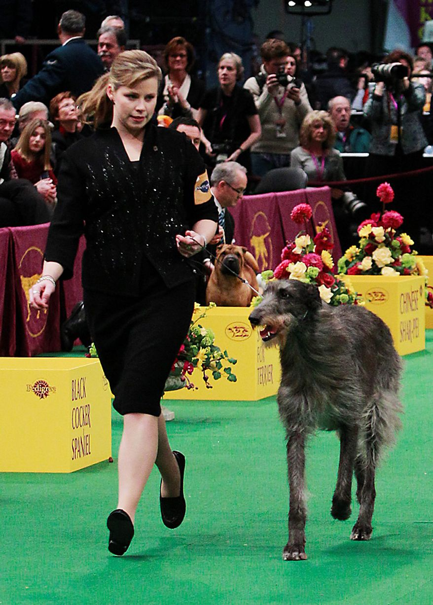 Hickory, a Scottish deerhound, competes in the ring for best in show at the 135th Westminster Kennel Club Dog Show on Tuesday, Feb. 15, 2011, at Madison Square Garden in New York. Hickory won best in show. (AP Photo/Frank Franklin II)