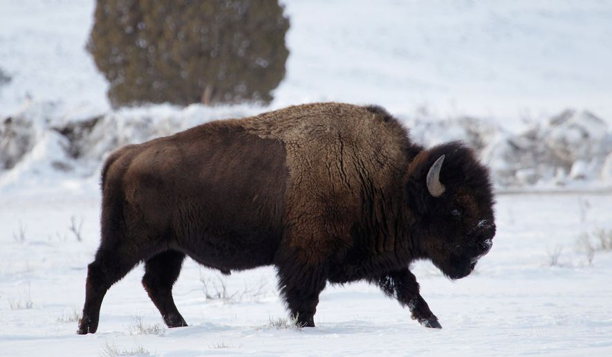 A bison walks through the snow earlier this month just inside Yellowstone National Park near Gardiner, Mont. In 2006, the state of Montana gave permission to the Nez Perce of Idaho and the Confederated Salish and Kootenai tribes of northwest Montana to hunt bison on federal lands outside Yellowstone. (Associated Press)