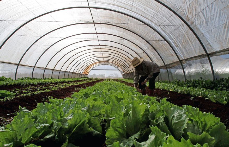 Mariela Ducase checks lettuce at an organic farm in San Antonio de los Banos on New Year's Day. During the height of the winter growing season, the selection at state-run vegetable markets is largely limited to lettuce and cabbage, tomatoes, carrots, bell peppers and a variety of tubers. (Associated Press)