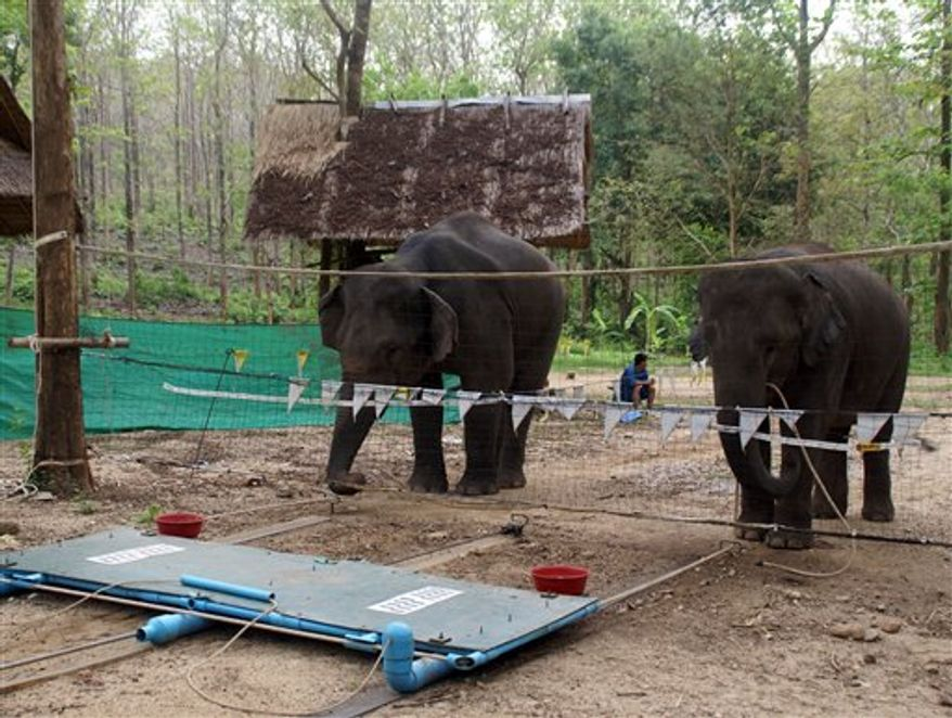 In this image provided by Joshua M. Plotnik, elephants participate in a test involving food rewards that are placed on a platform on the ground connected to a rope. To get the food the elephants had to pull the two ends of the rope at the same time to drag the platform under the fence. Elephants quickly learned to co-operate to solve a problem, researchers report in Monday's edition of Proceedings of the National Academy of Sciences. The giant mammals are socially complex, explained lead researcher Plotnik. (AP Photo/Joshua M. Plotnik)
