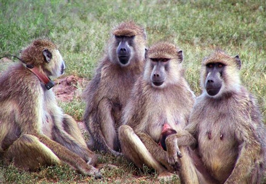 In this undated photo released by the journal Science adult female baboons are seen with infants in Amboseli, Kenya.  A team at Iowa State University studied data on primate aging, collected over decades around the world, and compared it with statistics on modern Americans. It turns out the aging pattern for humans isn't too different from most other primates, such as chimpanzees, monkeys and baboons, new research shows.  (AP Photo/Science)  NO SALES.