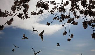 Seagulls fly near cherry blossom trees along the Tidal Basin, in Washington, D.C., Sunday, March 27, 2011. (Drew Angerer/The Washington Times)