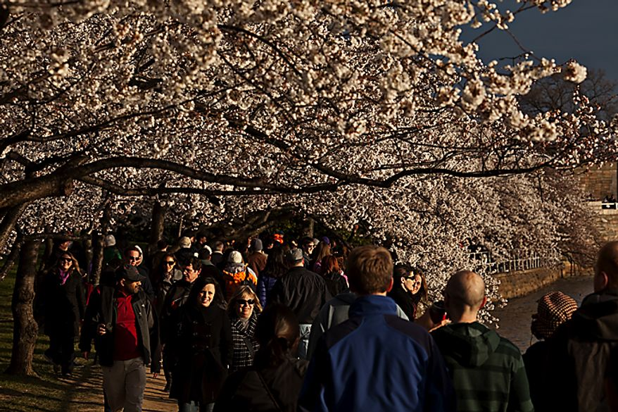 With the cherry blossoms in bloom, people walk along the Tidal Basin late in the afternoon, in Washington, D.C., Saturday, March 26, 2011. (Drew Angerer/The Washington Times)