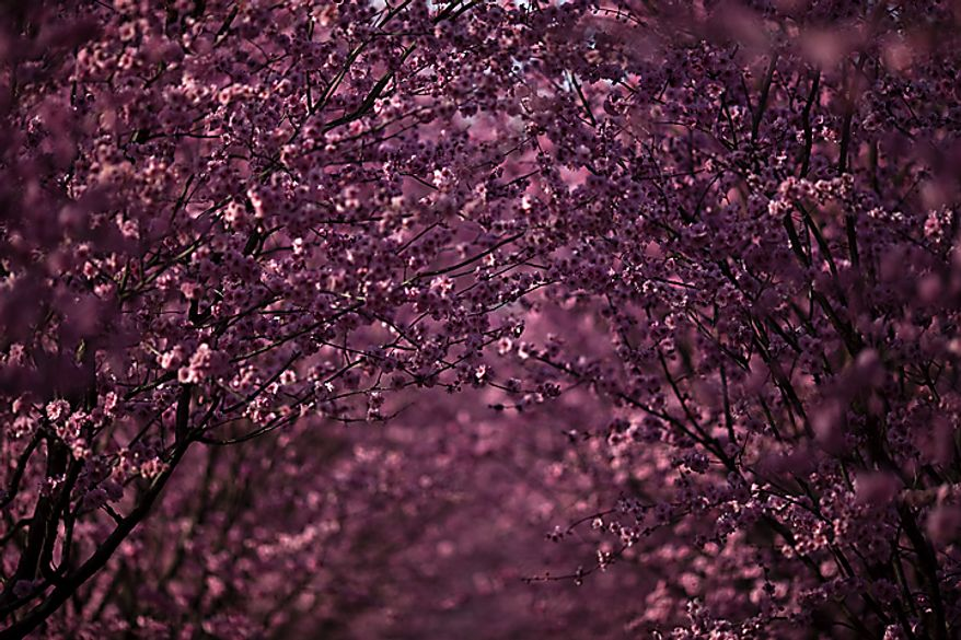 Blooming cherry blossoms are seen in Dumbarton Oaks in Georgetown, in Washington, D.C., Saturday, March 26, 2011. (Drew Angerer/The Washington Times)