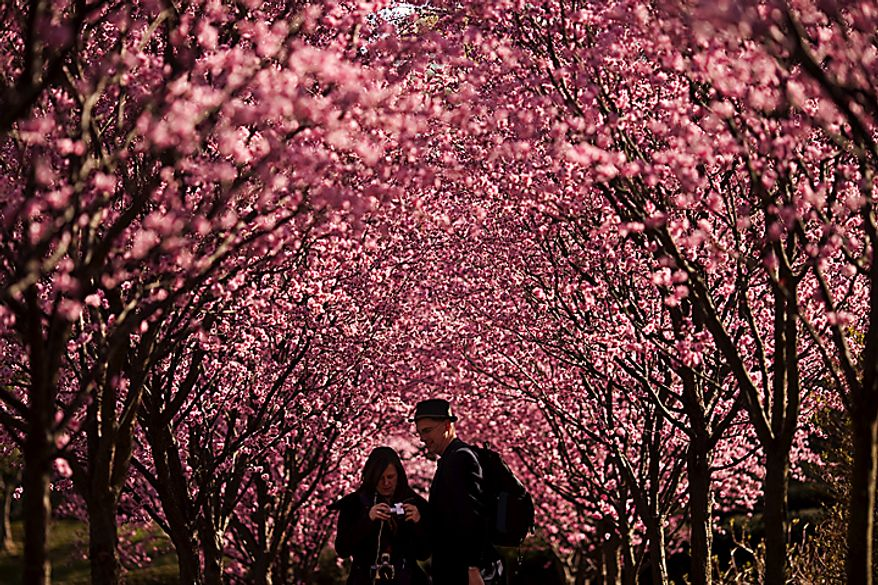 Brandy and Michael Moore look at their camera after taking pictures of cherry blossoms in Dumbarton Oaks in Georgetown, in Washington, D.C., Saturday, March 26, 2011. The couple live in Grand Prairie, Texas and traveled to Washington, D.C. for the the cherry blossoms. (Drew Angerer/The Washington Times)