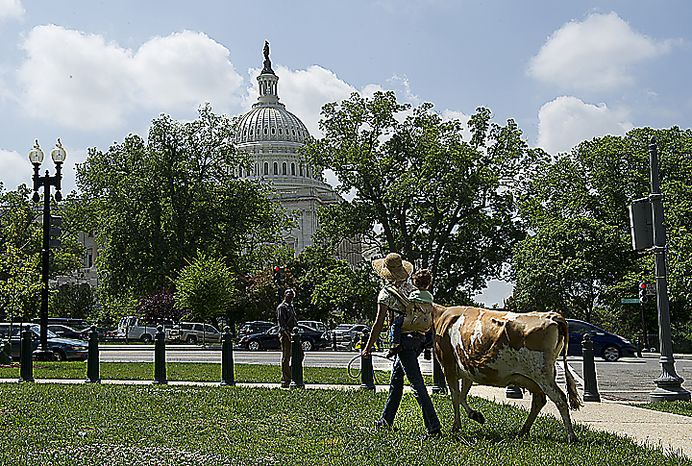 Leah Mack of Union Bridge, Md., and her two-year-old daughter Hope Faris walk Morgan the cow past the U.S. Capitol to Upper Senate Park on Monday, May 16, 2011 for a rally held by the organization Grassfed on the Hill. Groups of raw milk drinkers and supporters gathered at the park to protest the sting operation the FDA conducted against Pennsylvania farmer Dann Allgyer and his private buying customers. (Barbara L. Salisbury/The Washington Times)