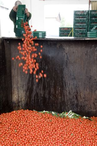 An employee of the Werder Frucht company throws away tomatoes in Werder, Germany, on Tuesday, June 7, 2011. (AP Photo/dapd, Klaus-Dietmar Gabbert)