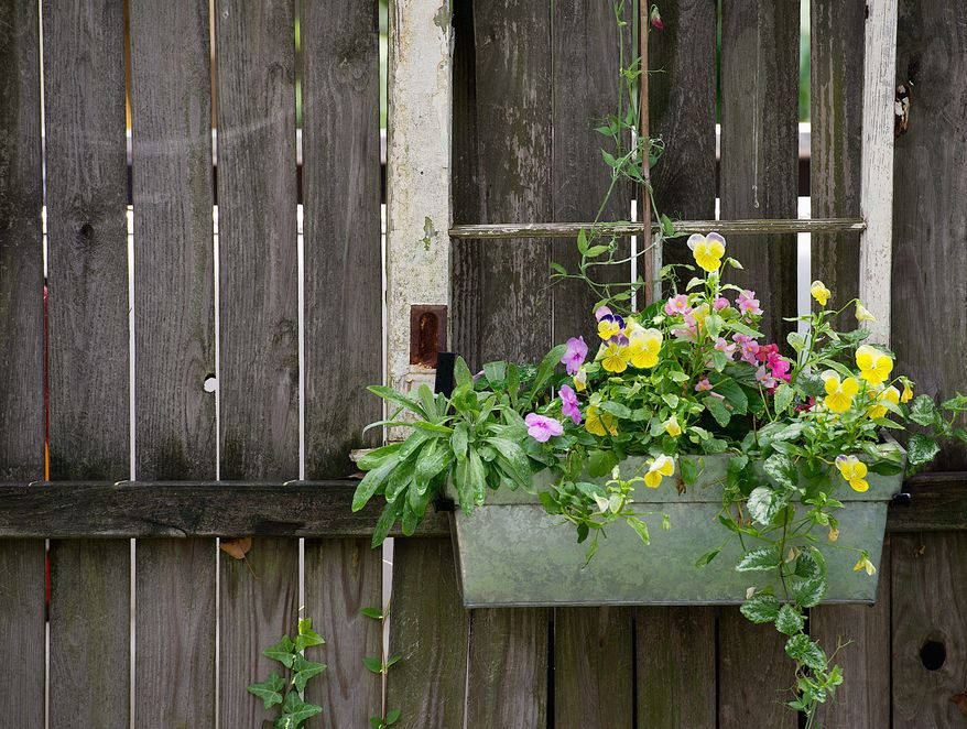 This hanging pot of pansies, impatiens, bogonias and sweetpea is a different way of displaying some traditional flowers that also helps contain some that would otherwise spread, such as the lamium vine hanging out of it, according to Kathy Jentz, editor of Washington Gardner magazine. Jentz took an old window frame from a house that was going to be demolished and paired it with a galvanized metal box in order to create the decorative piece that hangs in her Silver Spring, Md., garden on Monday, June 20, 2011. (Barbara L. Salisbury/The Washington Times)