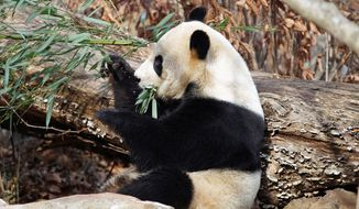 Female giant panda Mei Xiang eats bamboo at the National Zoo. Zoo-goers hope she will give birth to a sibling for Tai Shan. (Associated Press)