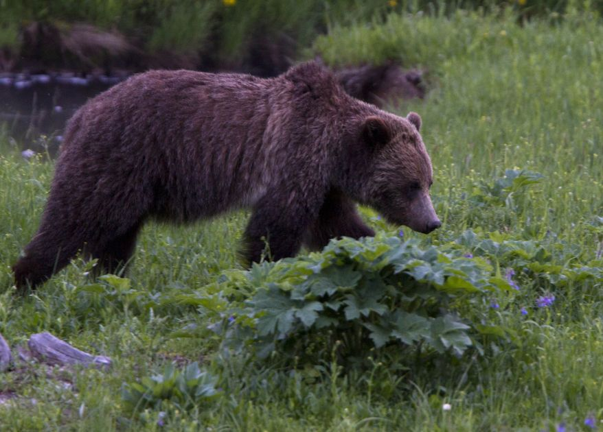 ** FILE ** A grizzly bear roams near Beaver Lake in Yellowstone National Park in Wyoming on Wednesday, July 6, 2011. (AP Photo/Jim Urquhart)