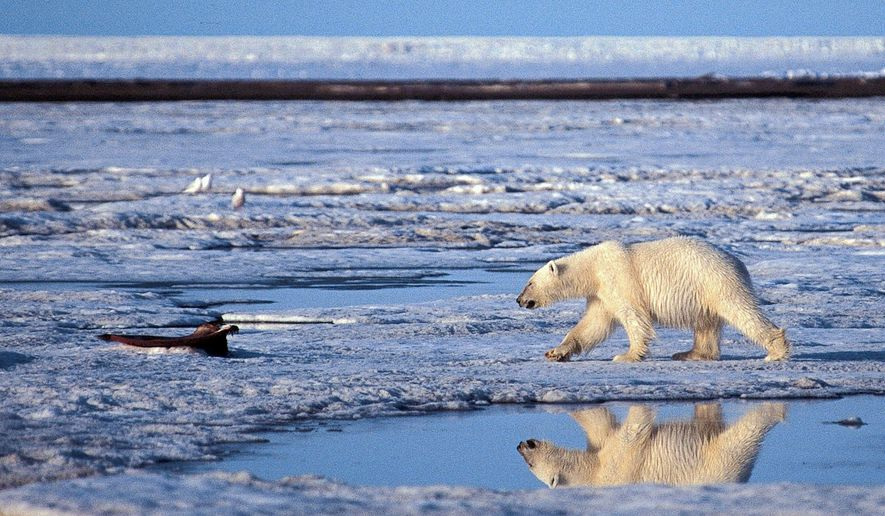 **FILE** A polar bear patrols the ice in the Arctic National Wildlife Refuge in Alaska. His 2004 observation of polar bears likely drowning in conjunction with global warming has come back to haunt federal wildlife biologist Charles Monnett. (Associated Press)