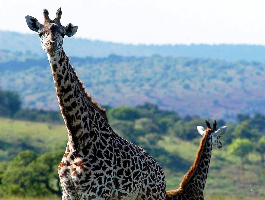**FILE** A pair of giraffes graze in Akagera National Park in eastern Rwanda in 2003. The number of animals in the park declined drastically from the early 1990s due to poaching and unrest. (Associated Press)
