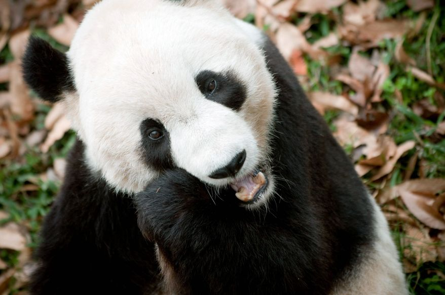 Tai Shan the panda at the National Zoo in 2009. (The Washington Times)
