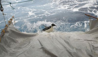 "In this image released by New Zealand's National Institute of Water and Atmospheric Research Ltd., the wayward emperor penguin dubbed ""Happy Feet"" slides down a makeshift water slide into the Antarctic Ocean south of New Zealand as he is released from the NIWA research vessel Tangaroa on Sunday, Sept. 4, 2011. (AP Photo/NIWA)"