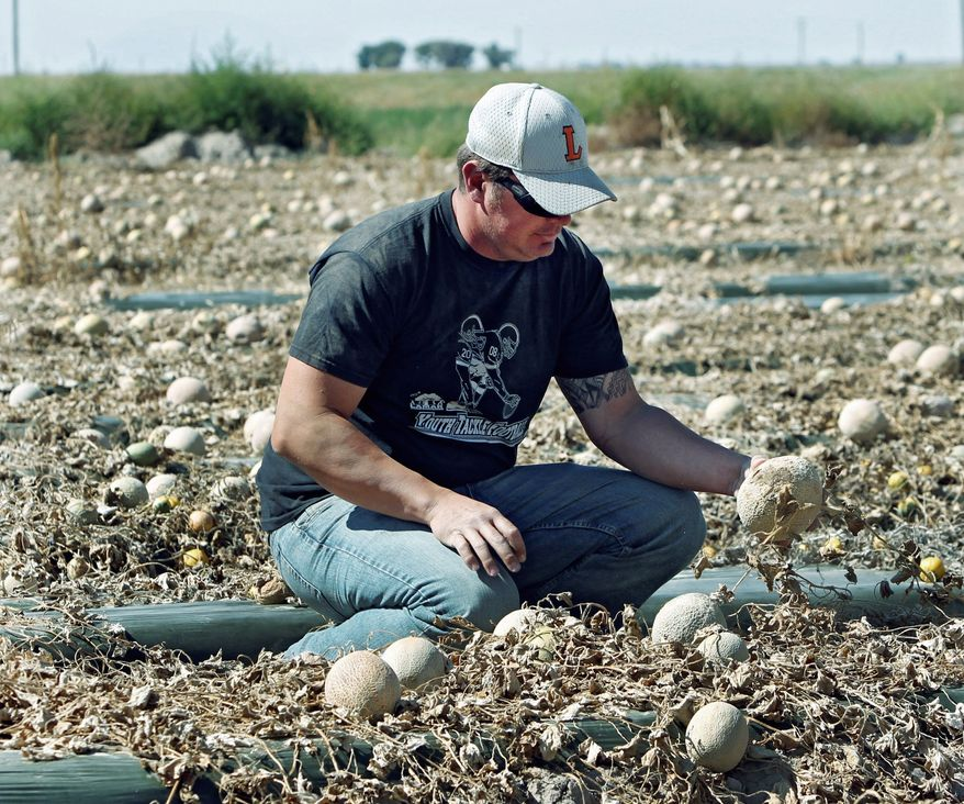 Owner Eric Jensen examines cantaloupe on the Jensen Farms near Holly, Colo., on Wednesday. The Food and Drug Administration has recalled 300,000 cases of cantaloupe grown on the Jensen Farms after connecting it with a listeria outbreak. (Associated Press)