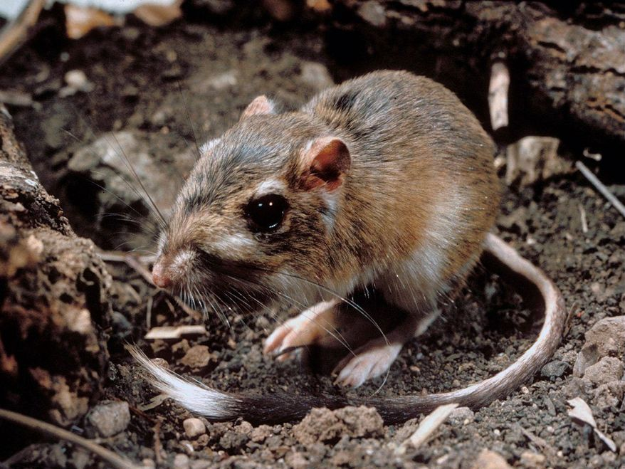 The Obama administration is seeking to extend federal protections to hundreds of animals, including the Texas kangaroo rat. (Associated Press)