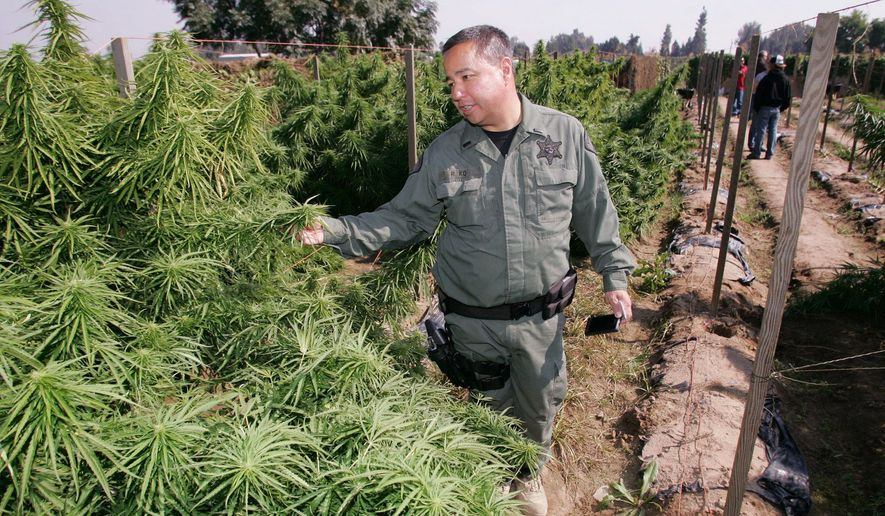 ** FILE ** Lt. Richard Ko sifts through marijuana plants in a field on Wednesday in Sanger, Calif. California narcotics officers have pulled millions fewer pot plants from remote forests than in past years. (Associated Press)