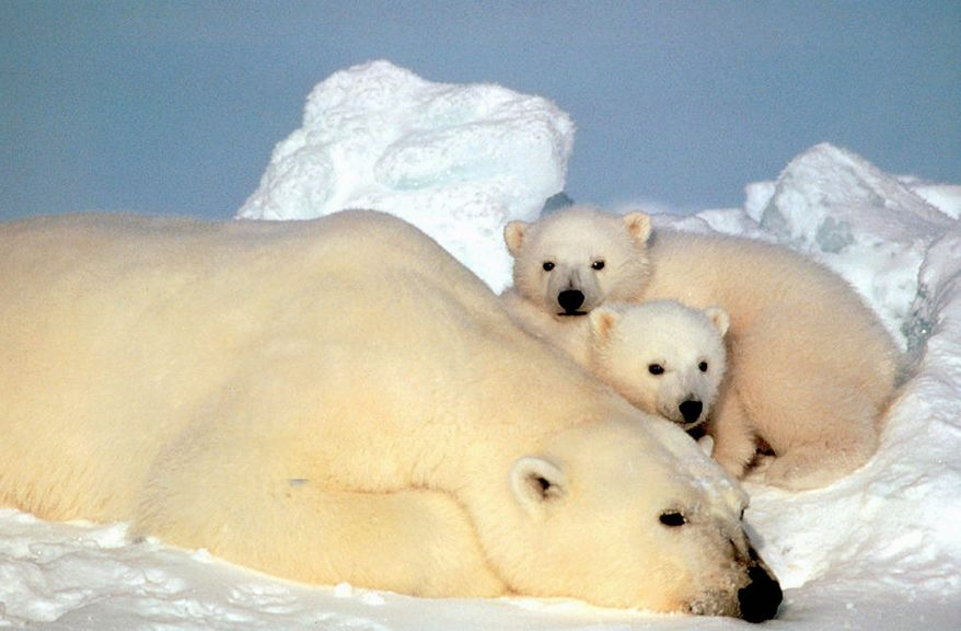 A polar bear rests with her cubs on pack ice in northern Alaska. A federal judge in 2011 said the Bush administration violated the National Environmental Policy Act by failing to conduct an environmental impact review before issuing its ruling on the status of polar bears under the Endangered Species Act. (Associated Press)