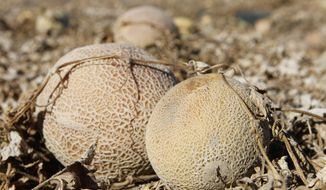 Cantaloupes rot in the afternoon heat on a field at Jensen Farms near Holly, Colo., on Wednesday, Sept. 28, 2011. (AP Photo/Ed Andrieski)