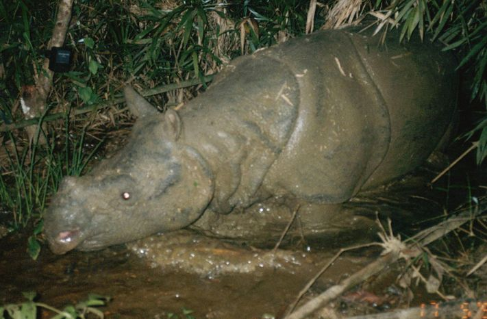 In this July 8, 2004, photo taken by a trap camera and released by WWF, the last rhino in Vietnam is shown in Cat Tien National Park in Lam Dong Province, southern Vietnam. Vietnam has lost its fight to save its Javan rhinoceros population after poachers apparently killed the country's last animal for its horn, an international conservation group WWF said in a report Tuesday, Oct. 25, 2011. (AP Photo/WWF)