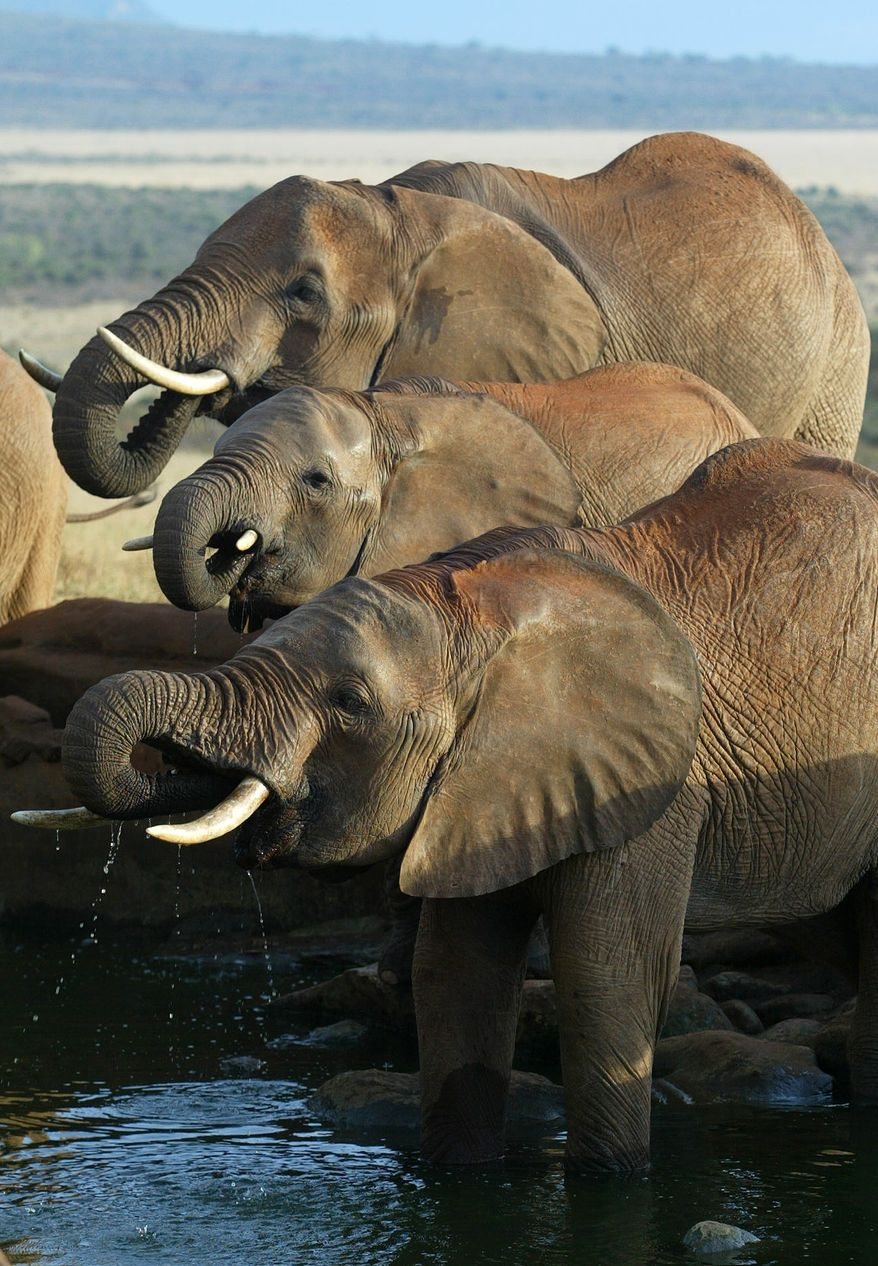 **FILE** Elephants drink at a water hole in Kenya's Tsavo East national park on May 27, 2005. (Associated Press)
