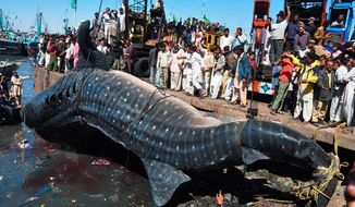 People examine the carcass of a whale shark in Karachi, Pakistan, on Tuesday. Several thousand people paid to see the brown-and-white spotted shark. (Associated Press)