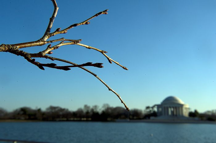 With cherry-blossom time less than a month away, tiny buds are forming on the 1,678 cherry trees around the Tidal Basin. (Barbara L. Salisbury/The Washington Times)