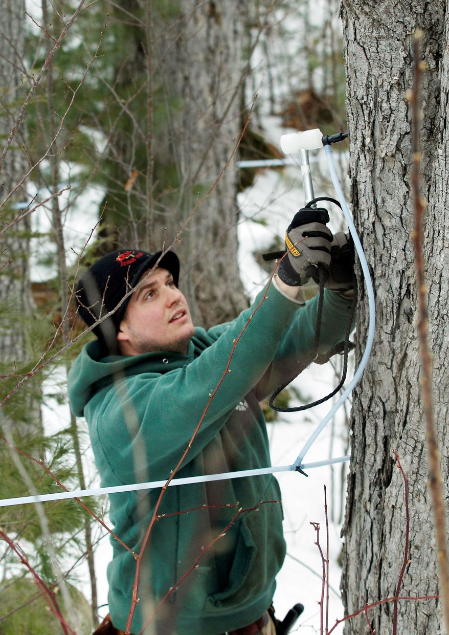 Ben Fisk hammers a tap and collection tube into the trunk of a maple tree at a timber stand in Newbury, N.H. An unusually mild winter across much of the Northeast has raised some concerns about the maple syrup harvest. (Associated Press)