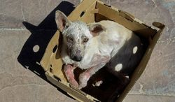 **FILE** Dogs taken off the streets of Khayelitsha township aren't all strays. Some owners aren't aware that they should confine their animals for safety, clinic workers say.