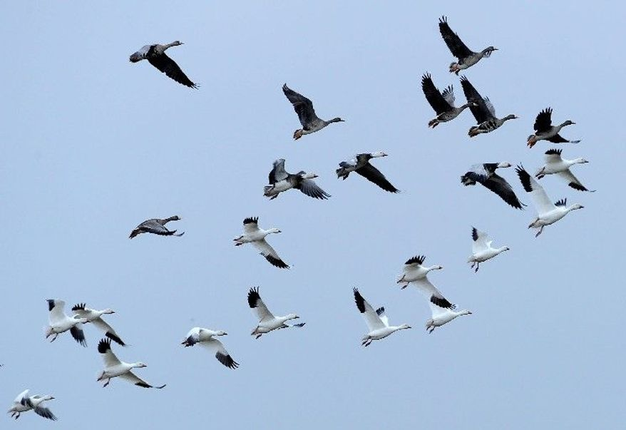 Geese fly over Mad Island, Texas, in mid-February. In a typical winter, the Texas Gulf Coast is packed with tens of thousands of migrating birds. But this year, an annual count just before Christmas found the population had dropped steeply. (Associated Press)
