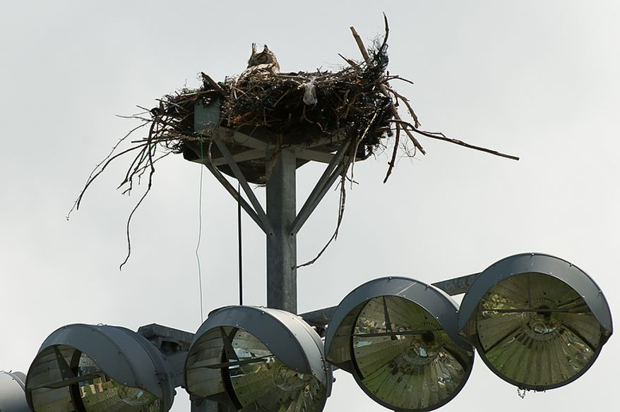 An owl who built its nest on top of a bank of lights in right field watches game action as the Washington Nationals play the Georgetown Hoyas  during a spring training exhibition game at Space Coast Stadium, Viera, Fla., Friday, March 2, 2012. (Andrew Harnik/The Washington Times)