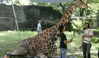 **FILE** Kliwon, a 30-year-old male African giraffe, receives treatment March 1, 2012, from keepers at the Surabaya Zoo in Surabaya, Indonesia. Kliwon, the only giraffe in the zoo, later died with a huge wad of plastic food wrappers found in its belly. (Associated Press)