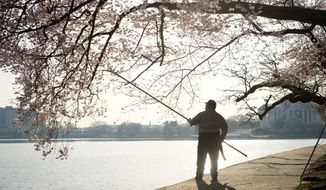As the sun rises over the Tidal Basin, Cory Cain, a tree worker with the National Park Service trims dead branches as the cherry blossoms make an early arrival with their pink and white blossoms in Washington, D.C., Thursday, March 15, 2012. (Rod Lamkey Jr./The Washington Times)