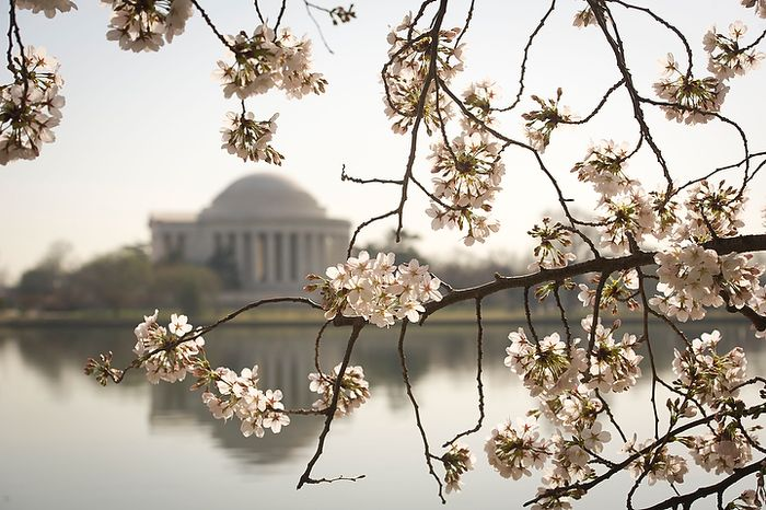 With the Jefferson Memorial in the distance, pink and white cherry blossoms make an earlier than expected  appearance along the Tidal Basin in Washington, D.C., Thursday, March 15, 2012. (Rod Lamkey Jr/The Washington Times)