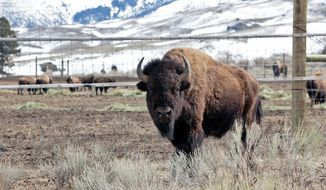 A bison roams freely outside a pen enclosing others in Gardiner, Mont., in Yellowstone National Park. On Monday, 64 bison from Yellowstone were to arrive at Montana's Fort Peck Reservation under a relocation initiative to repopulate parts of the West with the animals. (Associated Press)