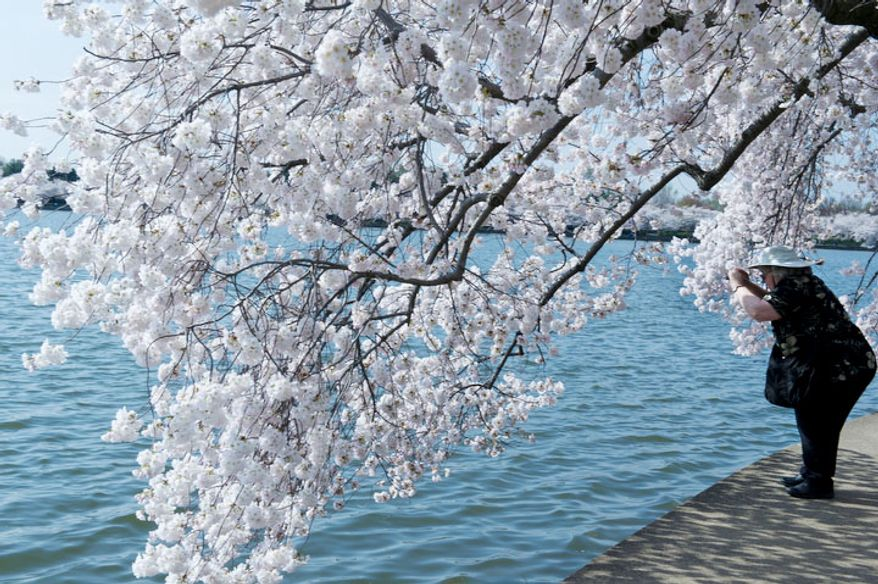 A tourist takes a picture of the cherry blossoms along the Tidal Basin in Washington, D.C., on March 19, 2012. (Barbara L. Salisbury/The Washington Times)