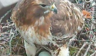 A high-definition webcam at Cornell University follows the real-time nesting instincts of red-tailed hawk Big Red as she incubates three eggs and dines on voles. (Associated Press)