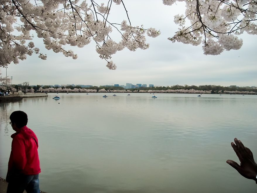 """Photographs of the Cherry Blossoms along the Tidal Basin taken by Brian D., an autistic adult with Community Services for Autistic Adults and Children, based in Montgomery Village, Md., Washington, D.C., Wednesday, March 21, 2012. Brian is part of the """"InFocus Project†which is a way for adults with autism to develop forms of self expression and social skills while producing work that has been featured in art shows, given to donors to C.S.A.A.C., and sold on an online store. (Brian D./InFocus Project)"""