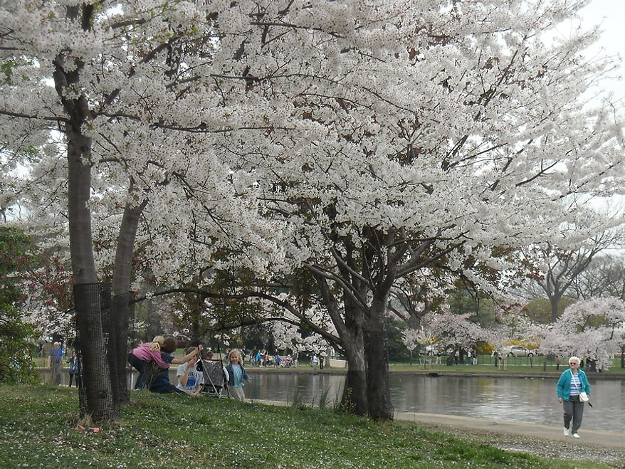 """Photographs of the Cherry Blossoms along the Tidal Basin taken by Jimmie R., an autistic adult with Community Services for Autistic Adults and Children, based in Montgomery Village, Md., Washington, D.C., Wednesday, March 21, 2012. Jimmie is part of the """"InFocus Project†which is a way for adults with autism to develop forms of self expression and social skills while producing work that has been featured in art shows, given to donors to C.S.A.A.C., and sold on an online store. (Jimmie R./InFocus Project)"""