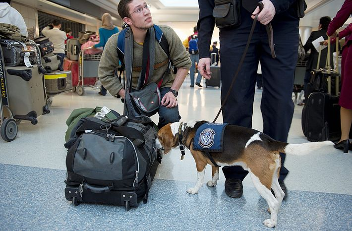 Hudson, trained to sniff illegal food products, alerts his handler to a possible problem in a passenger's bag at Washington Dulles International Airport. Agriculture specialists are on the lookout for plant and food items that can carry bacteria, pests and other potentially dangerous material into the country. (Barbara L. Salisbury/The Washington Times)