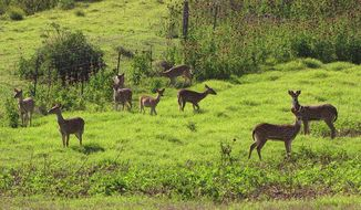 Axis deer are plentiful on the island of Maui in Hawaii, where they have caused considerable damage over the years to the landscape, but now there are an estimated 100 on the Big Island, 30 miles away, and no one knows how they got there. (Forest and Kim Starr via Associated Press)