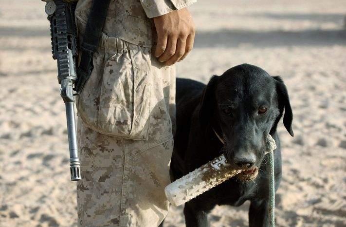 Ringo, a 3-year-old black Labrador, is used as an off-leash bomb sniffer. He is a veteran of the war in Afghanistan. But the U.S. military now relies more on electronic sensors to do the job. (Associated Press)