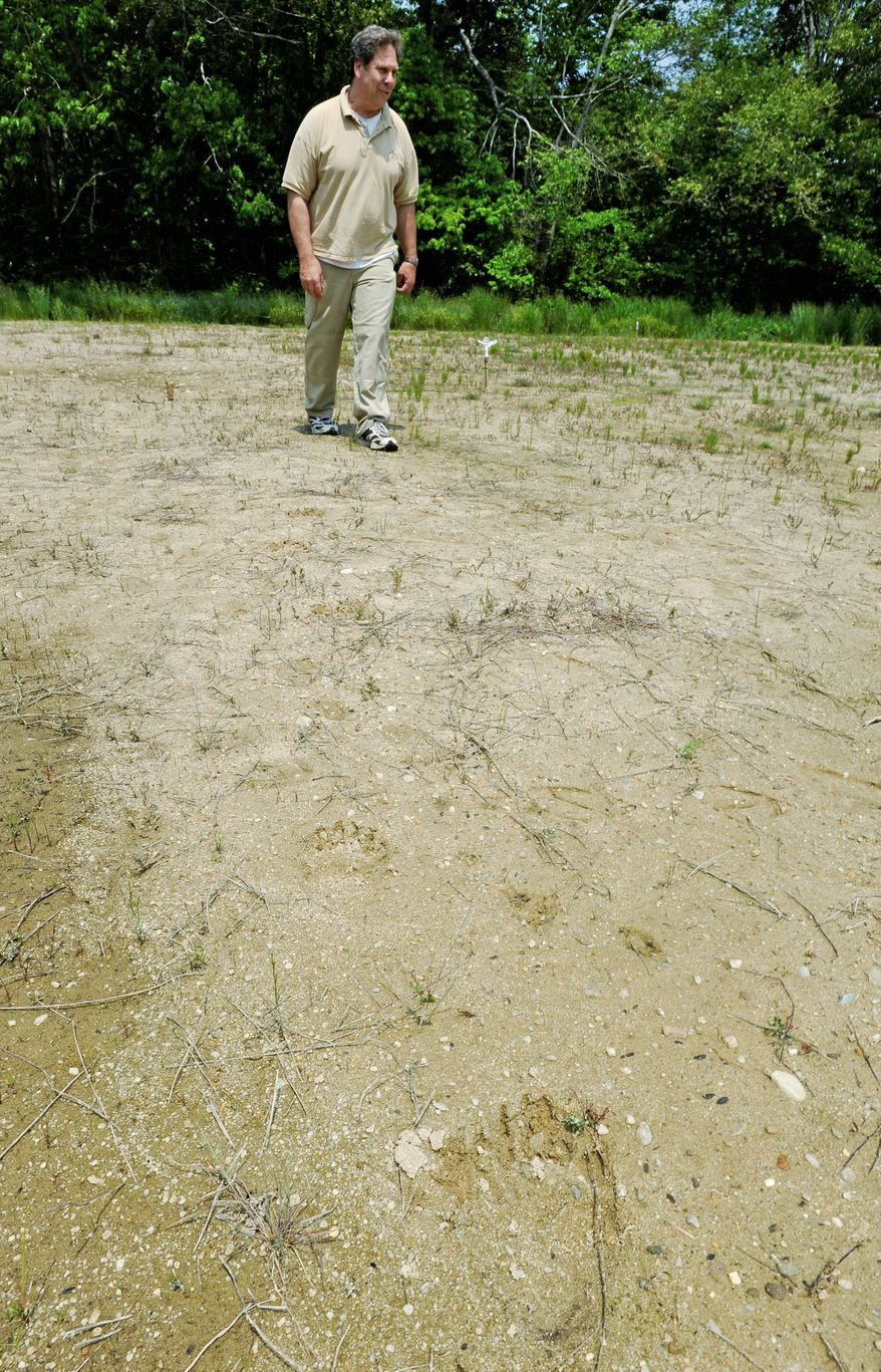 Cranberry farmer David Ross walks near a black bear footprint in sand on his property in West Barnstable, Mass. The bear apparently swam to Cape Cod from the mainland. (Cape Cod Times via Associated Press)