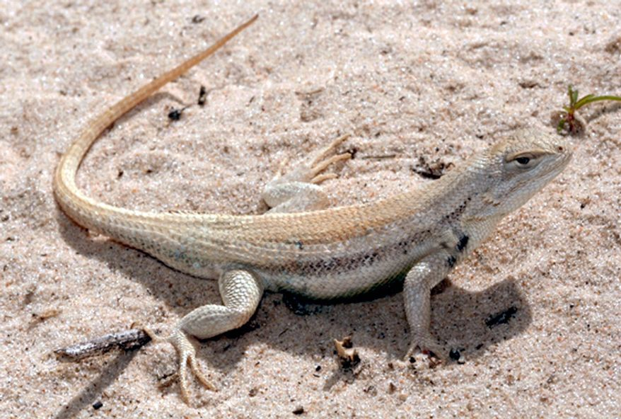 The Department of the Interior announced on Wednesday, June 13, 2012, that it will not declare the dunes sagebrush lizard an endangered species. Officials said voluntary efforts by New Mexico and Texas have headed off the need for the federal government to step in. (AP Photo/U.S. Fish and Wildlife Service)
