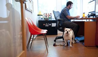 Ginger, an English Bulldog, stands watch while at work with her owner Will Pisnieski, at Authentic Entertainment in Burbank, Calif., Monday, June 11, 2012. Ginger is one of millions of dogs that accompany their owners to dog-friendly businesses across the country every day. Even more will join her next Friday for Take Your Dog to Work Day. (AP Photo/Grant Hindsley)