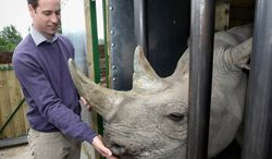Prince William, second in line to the British throne, feeds a 5-year-old black rhino named Zawadi during a visit to the Port Lympne Wild Animal Park in Port Lympne, England, on Wednesday, June 6, 2012. (AP Photo/Chris Jackson, Pool)