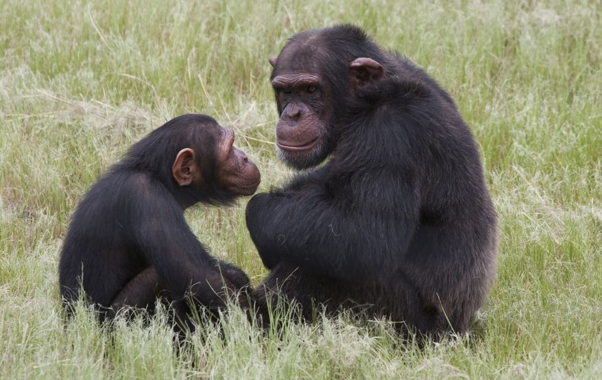 Chimpanzees sit in an enclosure at the Chimp Eden rehabilitation center near Nelspruit, South Africa, on Feb. 1, 2011. (Associated Press)
