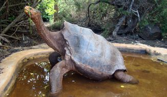 The centenarian tortoise Diego has sired hundreds of offspring at the Galapagos National Park in the Galapagos Islands. (AP Photo/Galapagos National Park)
